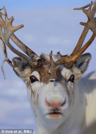 Not just a song: A reindeer in the Norwegian Arctic showing distinct pink colouration on its nose